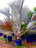 Bismarkia-Palm