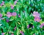 CUPHEA Heather December