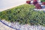 Green-Carpet-Juniper