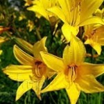 Hemerocalis-perennials-bulbs