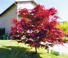 Jap-Red-Maple