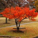 Japanese-Maple-trees