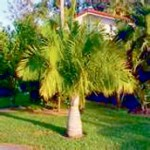 Majesty-Palm June