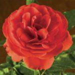 Trumpeter-Rose