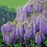 Wisteria Vine annuals perennials