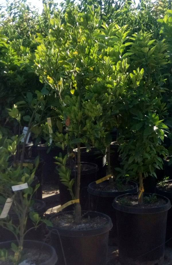 Sunshine Growers Nursery Fruit Trees Sunshine Growers